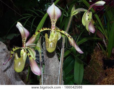 paphiopedilum ladyslipper orchid - purple and green venus slipper orchid