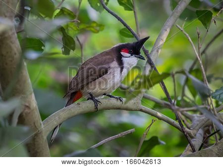 Indian bird - Asian paradise flycatcher in dense foliage in natural habitat.