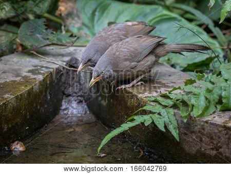 Common Indian birds Jungle Babbler (Turdoides striata) pairs near a waterhole.