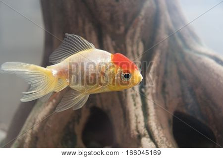 Fish swim in the home aquarium.  Close-up.