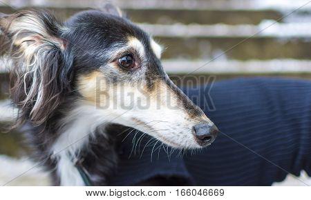 Portrait of Dog Greyhound in Wool Sweater