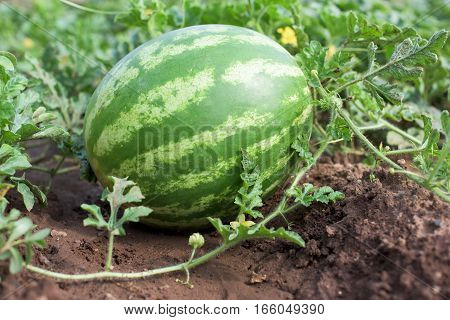 Part of Watermelon plant in a vegetable garden