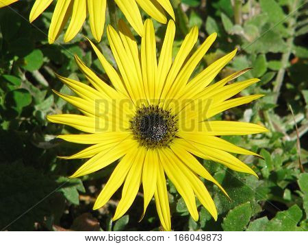 Yellow Flower With Green Foliage Back Ground 13mui