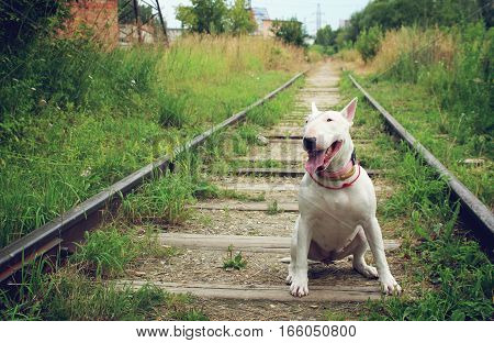 White Bullterrier on nature in the summer