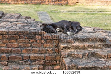 black dog lying on a brick wall.