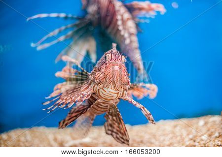 Swimming Red Lionfish. Pterois Miles. Dangerous, Extraordinary, Poisonous Ocean Fish. Blue Backgroun