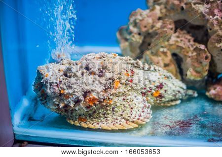 Reef Stonefish Synanceia Verrucosa , Also Known As The Stonefish. Wildlife Animal.