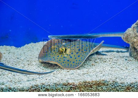 Electric Ray Floats On The Sea Bottom