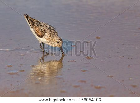 A Western Sandpipe on the beach in the water. The scientific name of this bird is Calidris or Erolia mauri.