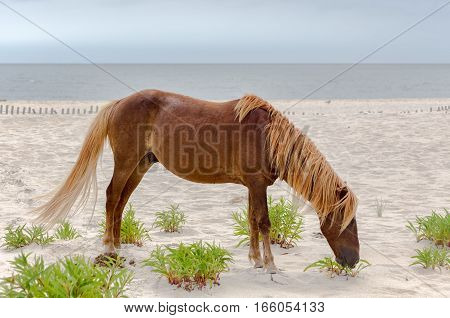 A Wild pony horse of Assateague Island Maryland USA on the beach. These animals are also known as Assateague Horse or Chincoteague Ponies. They are a breed of feral ponies that live in the wild on an island off the coast of Maryland and Virginia. It is un