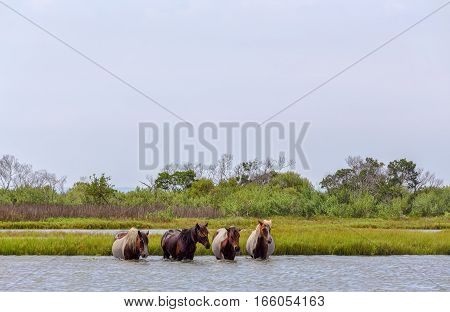 Four wild ponies of Assateague Island Maryland USA crossing the water of the bay. These animals are also known as Assateague Horse or Chincoteague Ponies. They are a breed of feral ponies that live in the wild on an island off the coast of Maryland and Vi