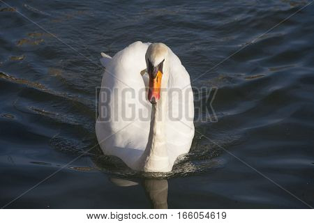Young Mute Swan Cygnus Olor Floating On Clear Water Lake