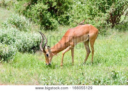 Impala isolated grazing in East Tsavo Park in Kenya