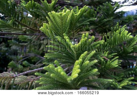 Closeup of Christmas-tree Pine leaves bright green