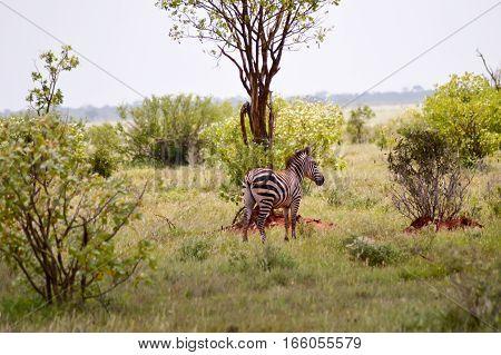 Zebra isolated in the savanna of park tsavo in Kenya