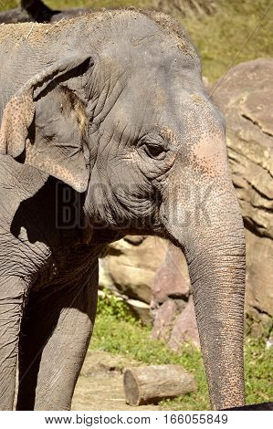 Indian elephant Latin name Elephas maximus indicus