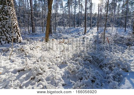 Sun shining in the beautiful winter forest