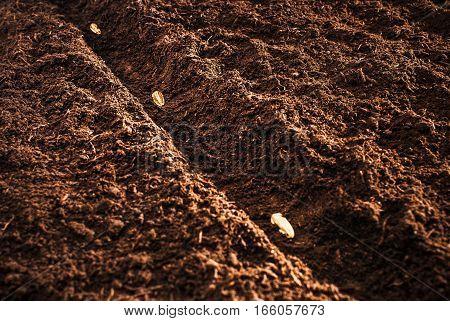 Sunflower seeds in seeding furrow, sunrise, clear woody