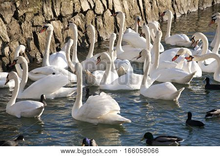 Feeding group of swans on the shore of lake