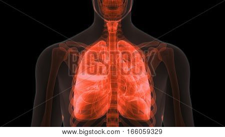 3D Illustration of Human Body Organs (Lungs Anatomy)