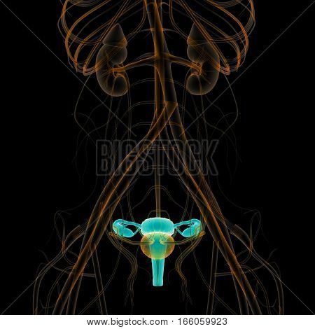 3D Illustration of Female Reproductive System with nervous system and urinary bladder Anatomy