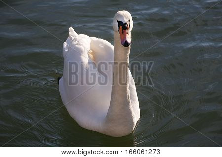 Beautiful White Swan Swimming In Front