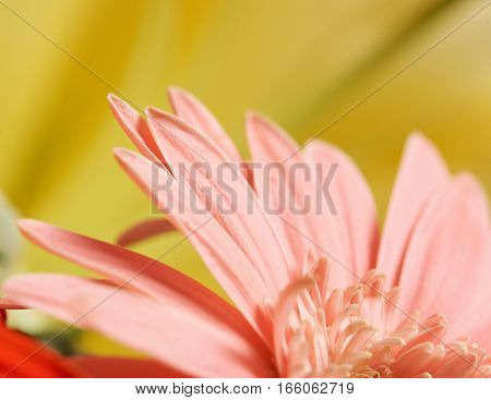 Macro of pink flower on yellow background