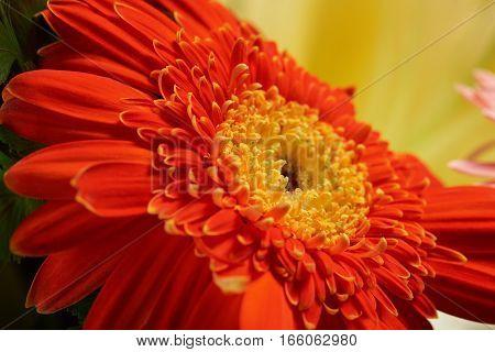 Macro of orange flower with yellow background