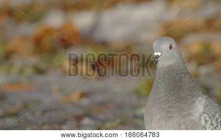 Portrait of the Domestic Pigeon Columba livia domestica in Finland.