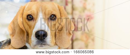 Dog portrait banner or background. Cute young female beagle.