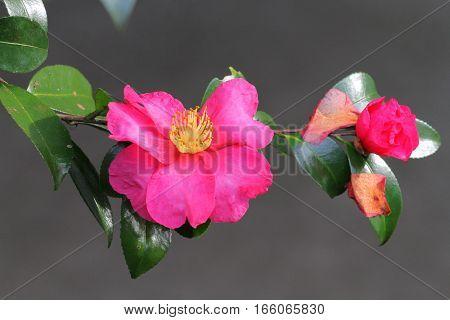 Camelia Sasanqua Japan flower in the garden