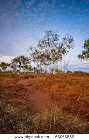 A ghost gum beside a dry riverbed photographed just before dusk in the Pilbara Region of Western Australia, Australia. - Eucalyptus