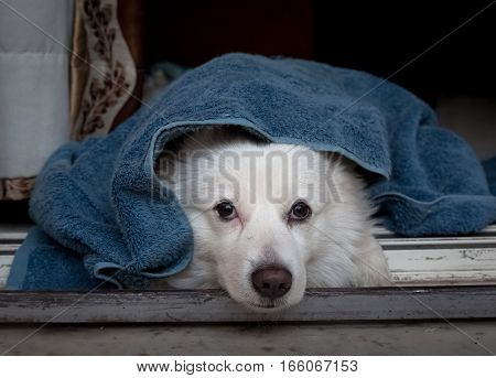 White German spitz dog breed under a blue blanket lying idly near the doorway.