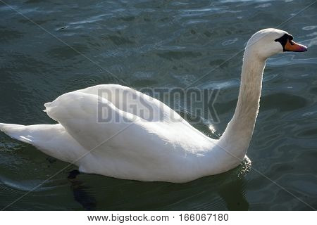 Closeup Shot From A Beautiful White Swan When Swimming In Crystal Clear Lake