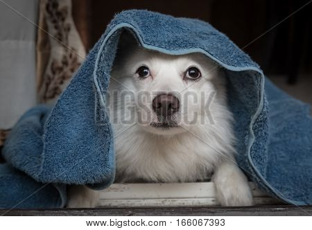 Cute white German spitz dog breed under a blue blanket lying idly near the doorway.