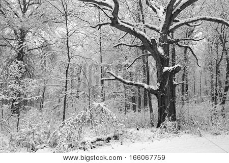 Black and white image of winter storm in midwest forest.