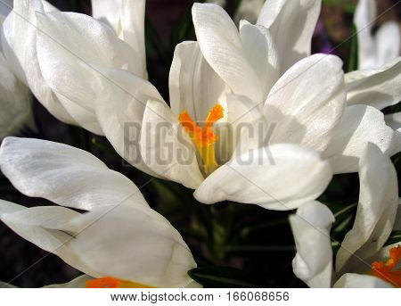 Delicate petals of white crocus with orange stamens