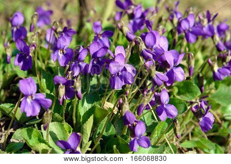 Delicate flowers of viola in the spring sun in the forest