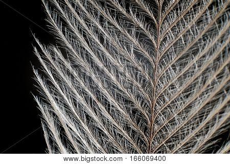 Elegant Feather On Black Extreme Close Up Detail.