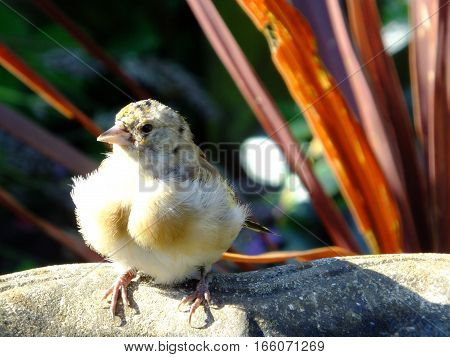 Juvenile goldfinch perched on the edge of a birdbath