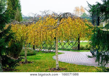 Dwarf birch in the park. Yellowing leaves.