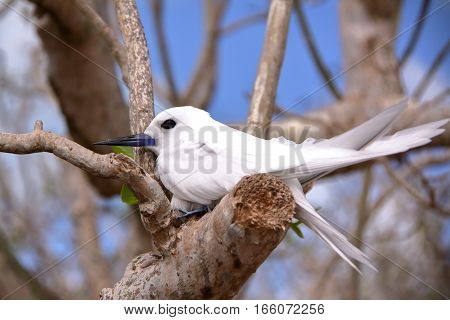 RODRIGUES ISLAND, MAURITIUS: Portrait of a White tern (Gygis Alba) at Cocos Island