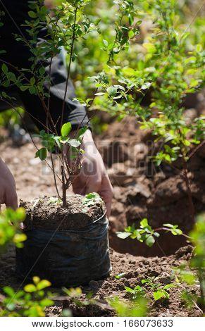 Planting new seedling in the garden, vertical