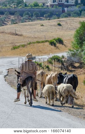 Old Moroccan sheperd riding on small donkey and leading sheeps and cows on narrow tar road, Morocco, North Africa.