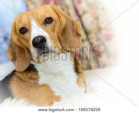 Portrait of Beagle dog at home, selective focus.
