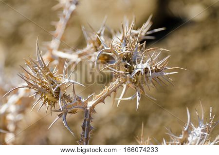 Detail shot of dry thorny bush with blurry background and tooth or claw like spikes.