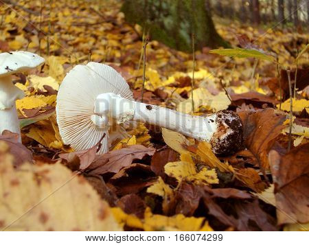 Picture of a white mushroom lying on yellow leafs