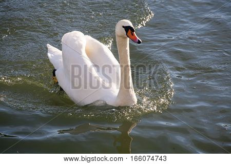 Beautiful young mute swan cygnus olor floating on a crystal clear water lake. Graceful white mute swan swimming on lake summertime