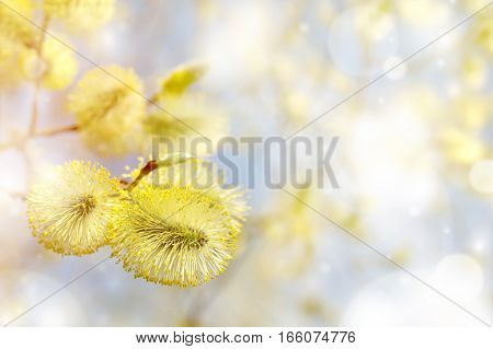 Spring bright background with pussy-willow branch with catkins