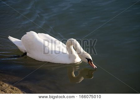 Graceful White Mute Swan Swimming On Lake Summertime